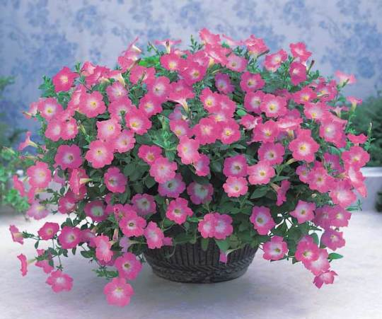 Some lovely potted petunias